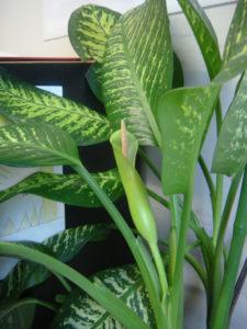 Dieffenbachia cat plant