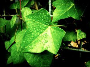 Ivy cat plant