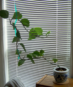 Philodendron cat plant