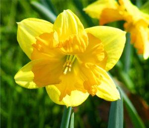Daffodil cat plant