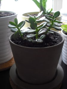 Jade Plant cat plant