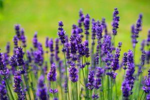lavender cat plant