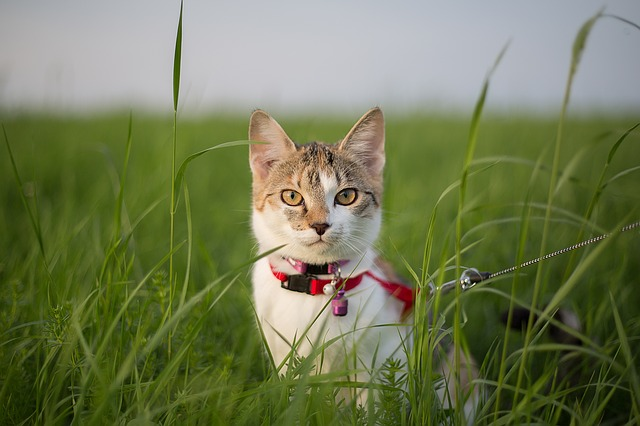 cat in a harness