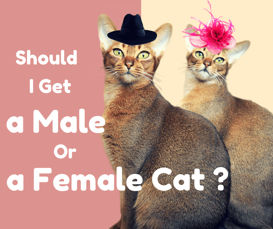 male cat vs female cat
