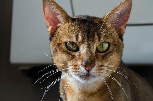 abyssinian cat information