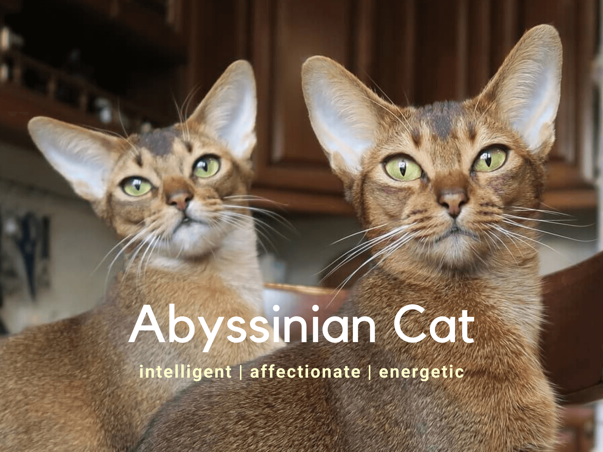 Abyssinian Cat - Breed Information