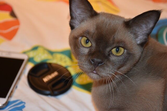 burmese cat breed facts