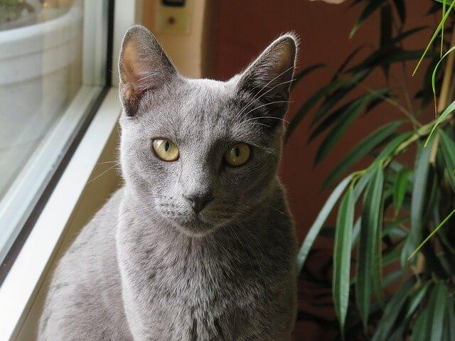 russian blue cat breed information