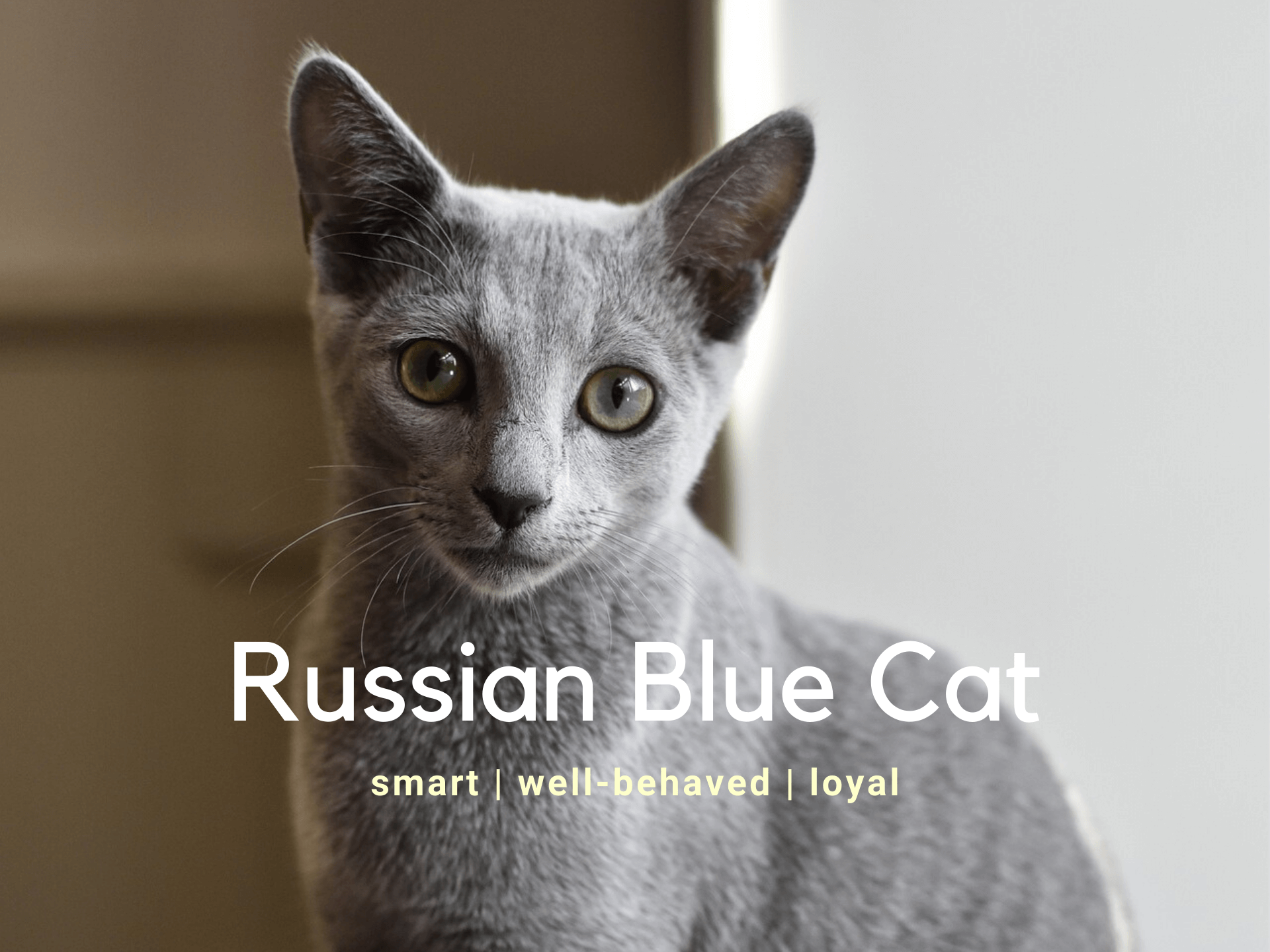 Russian Blue Cat - Breed Information