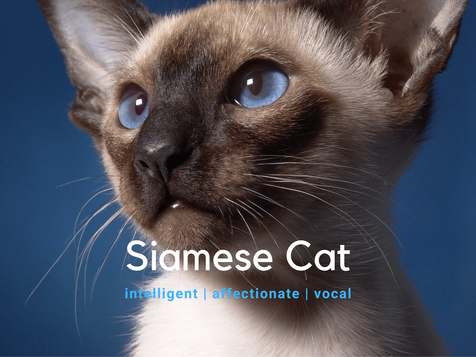 Siamese Cat - Breed Information