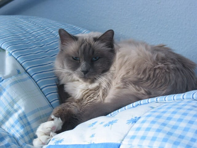 birman cat breed information