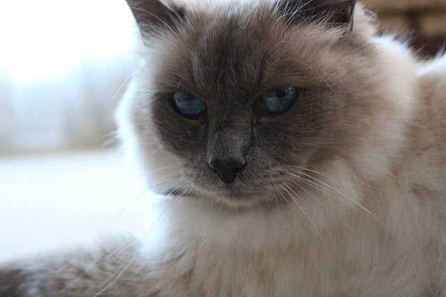 birman cat facts