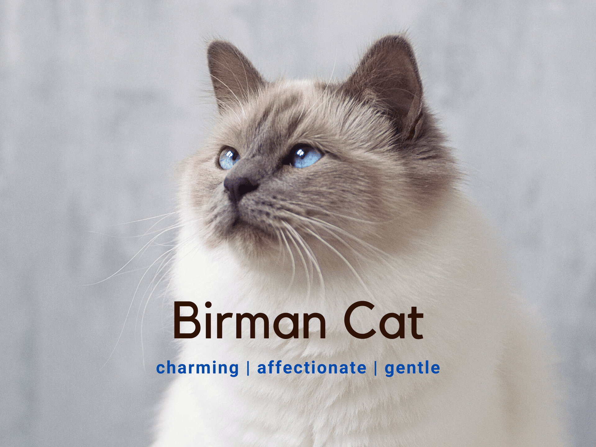 Birman Cat - Breed Information