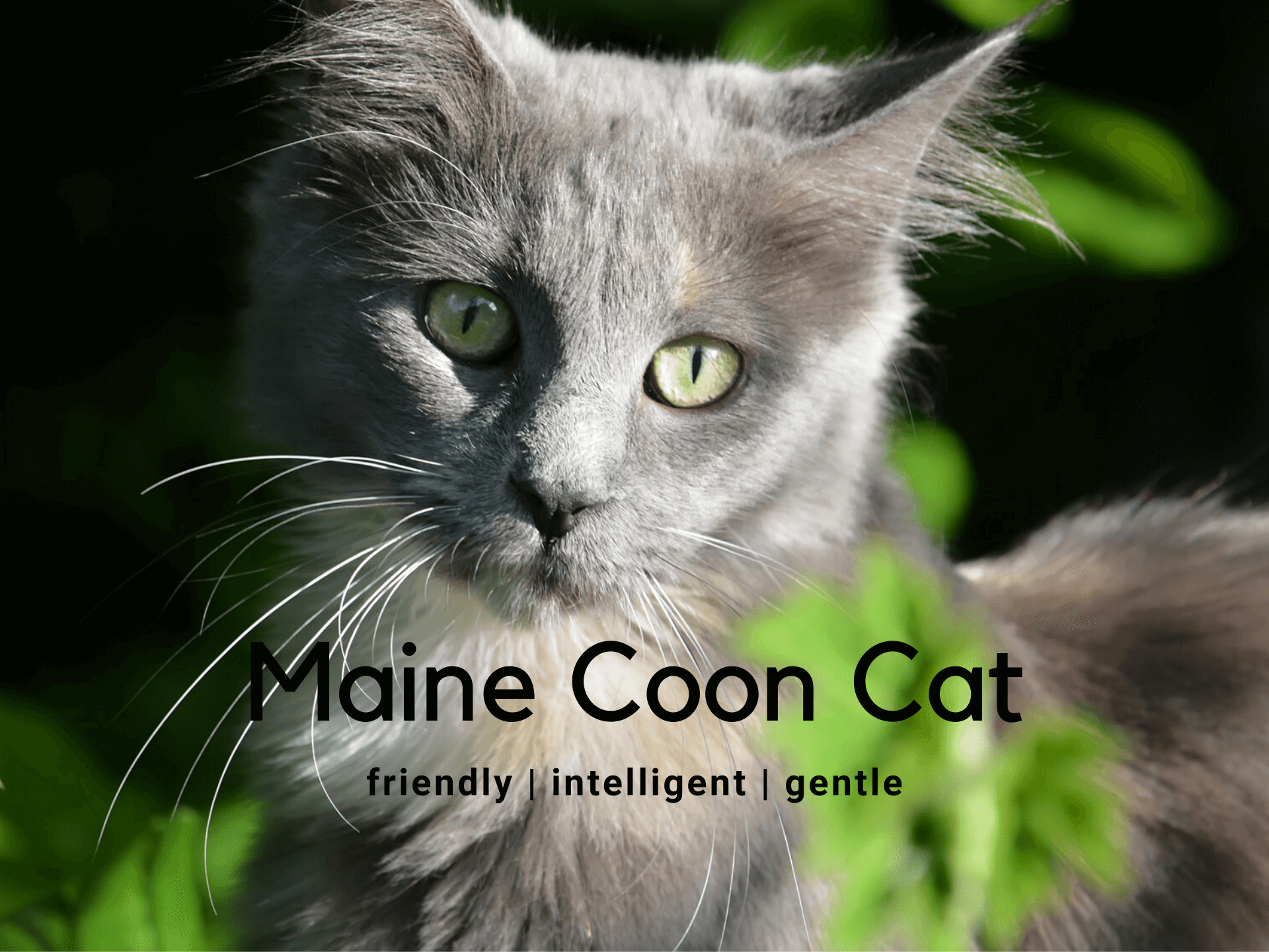 Maine Coon Cat - Breed Information