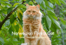 Norwegian Forest Cat – Breed Information