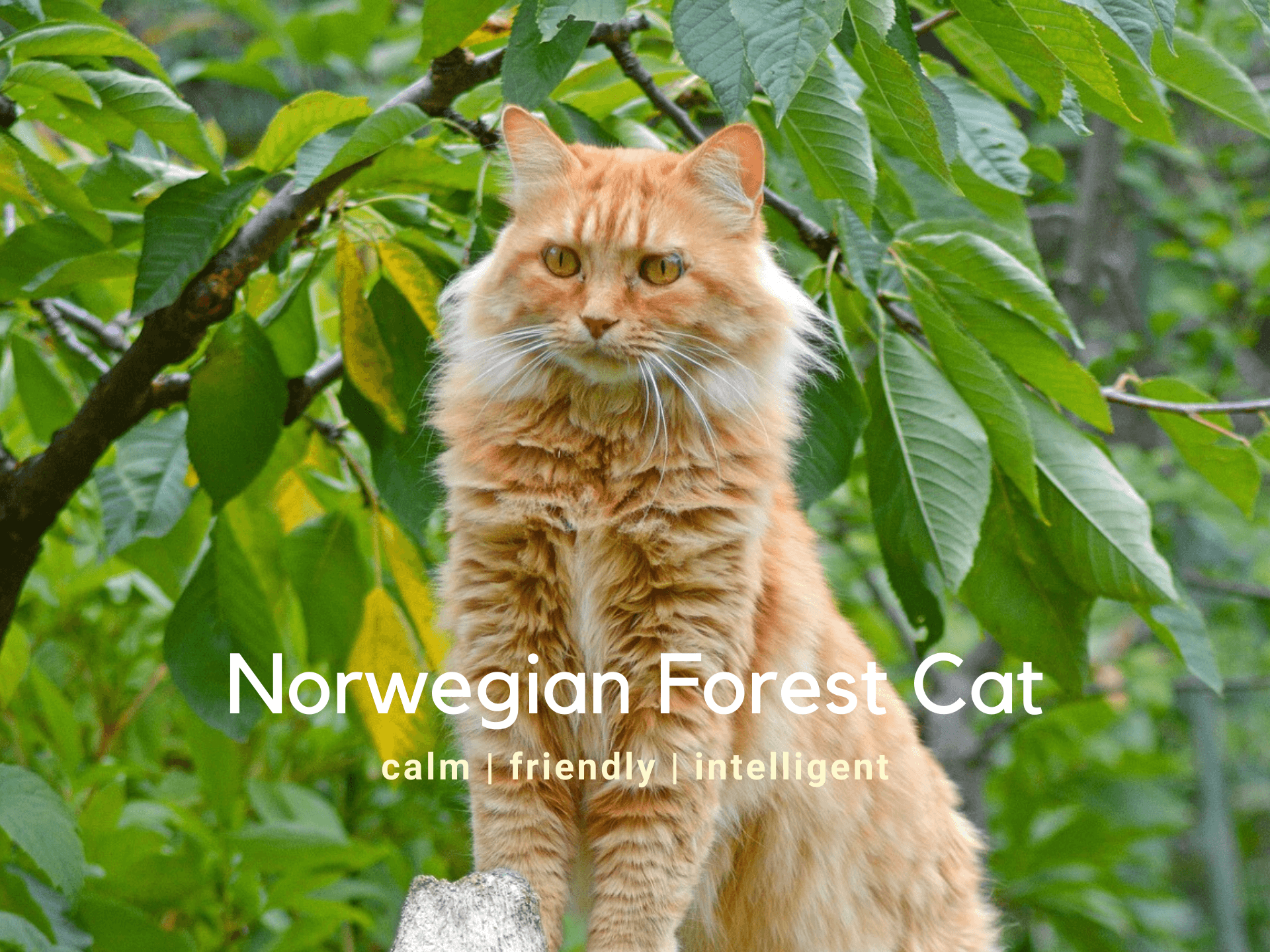 Norwegian Forest Cat - Breed Information