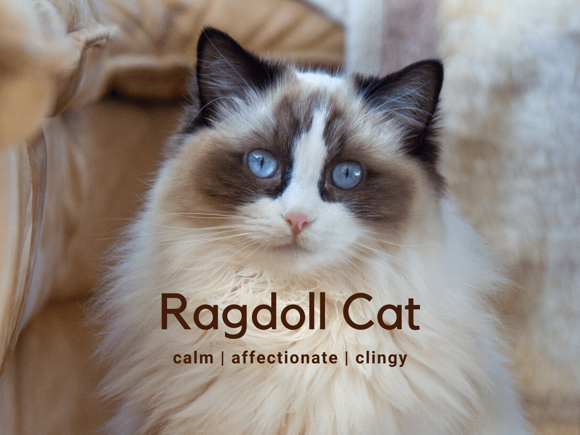 Ragdoll Cat - Breed Information