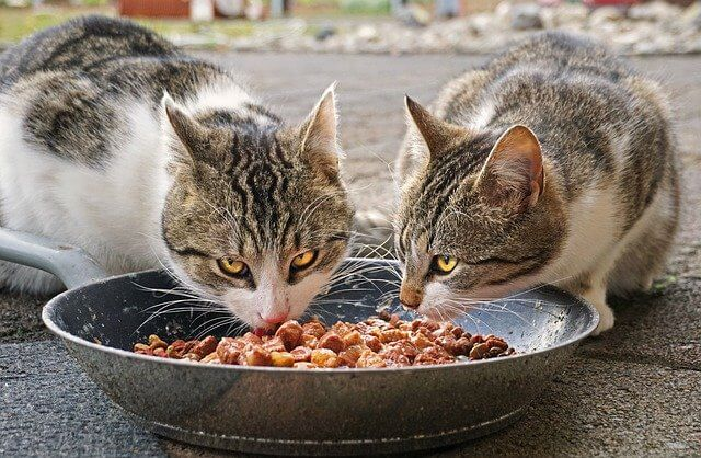 cats eating canned food