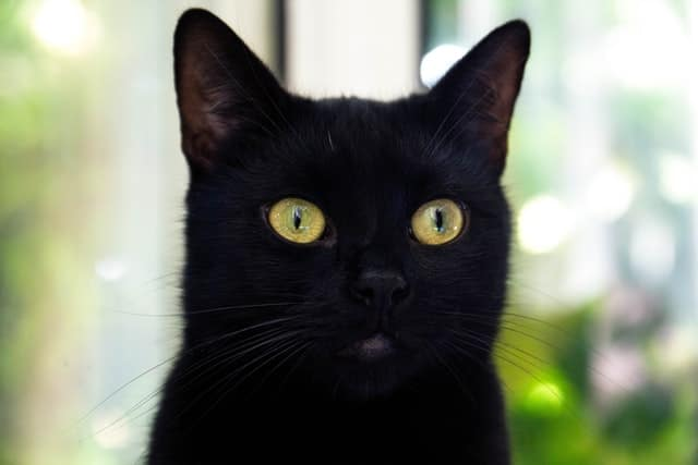 black cat names inspired by languages